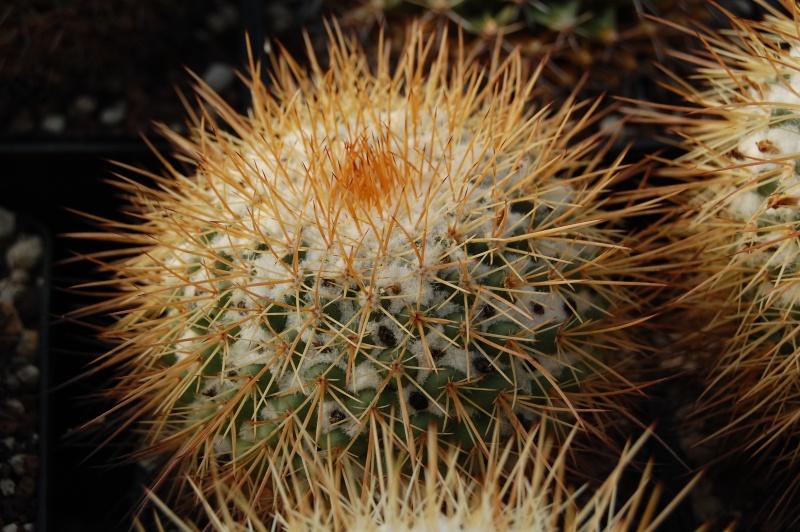 Mammillaria apozolensis    Apozol10