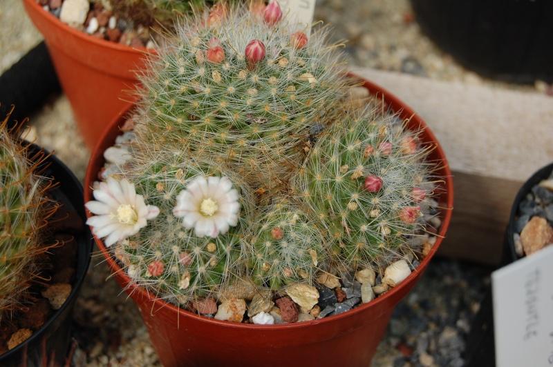 Mammillaria aureoviridis Aureov10
