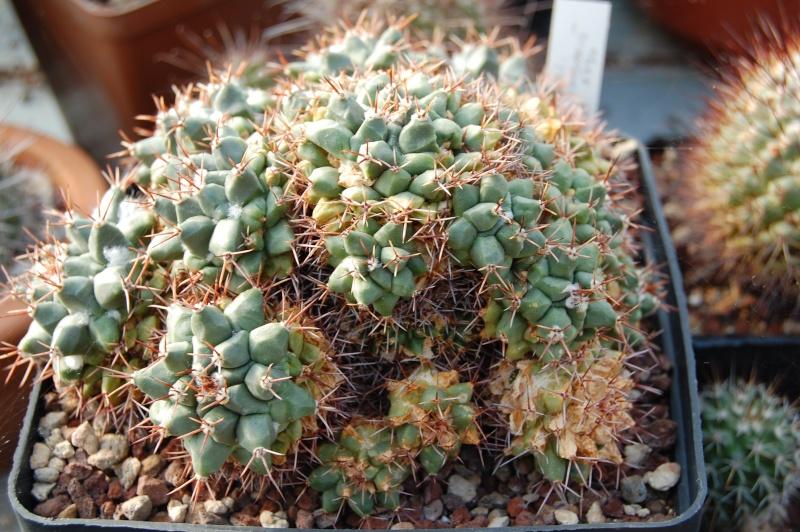 Mammillaria crassimammillis Crassi10