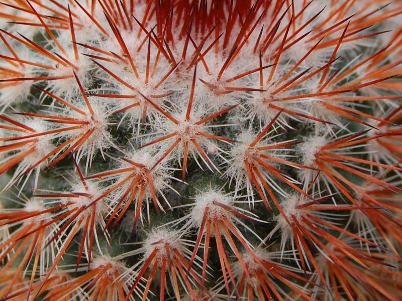 Mammillaria atrosanguinea Csc_0011