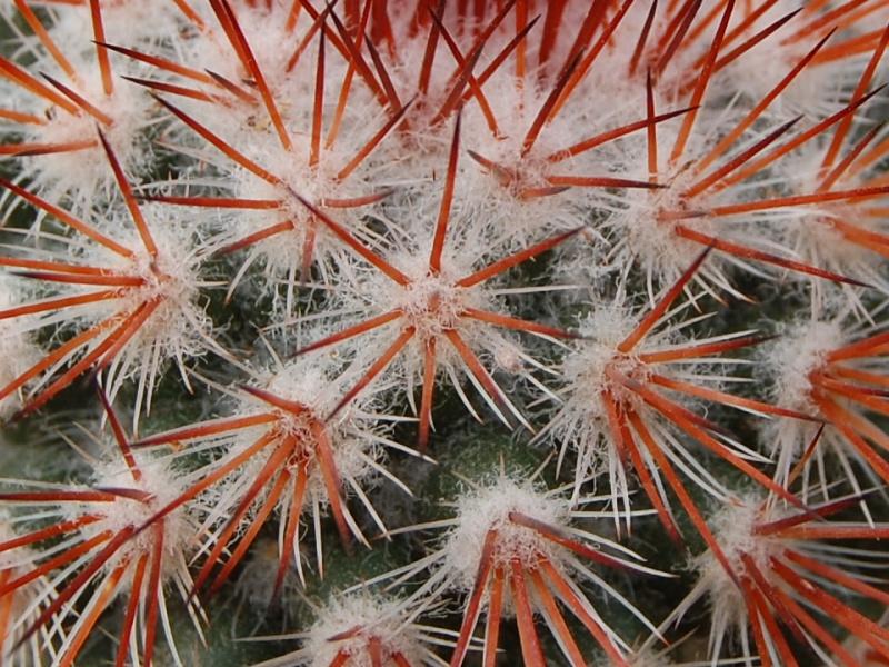 Mammillaria atrosanguinea Csc_0012