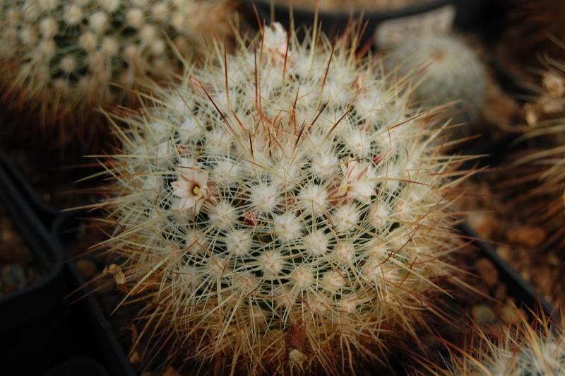 Mammillaria discolor Discol11