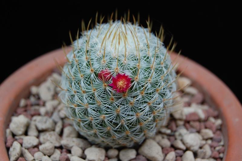 Mammillaria donatii  Donati11