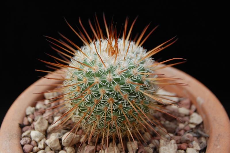 Mammillaria dixanthocentron Dsc_0021