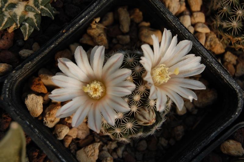 Mammillaria coahuilensis Dsc_0029
