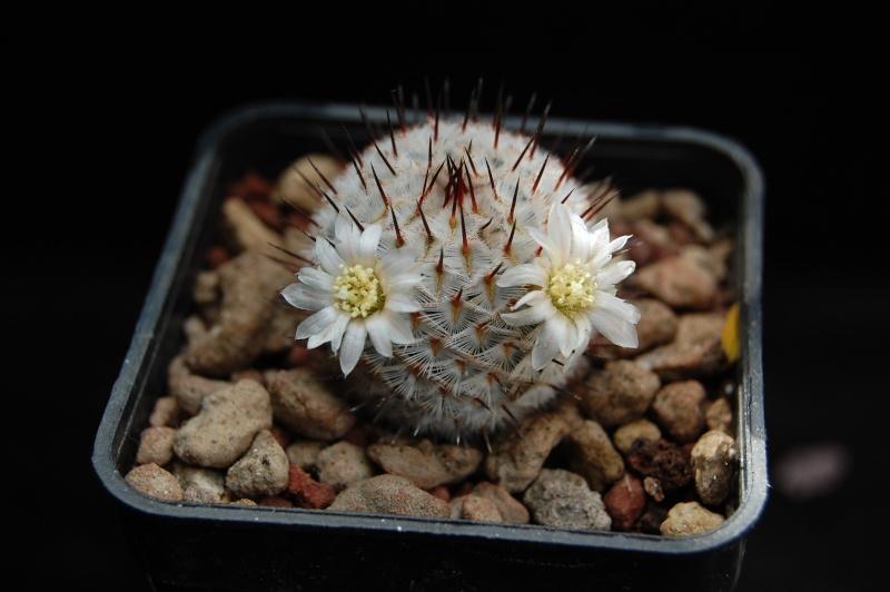 Mammillaria perezdelarosae Dsc_0038