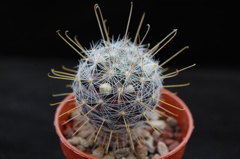 mammillaria longiflora SB 494 Dsc_0114