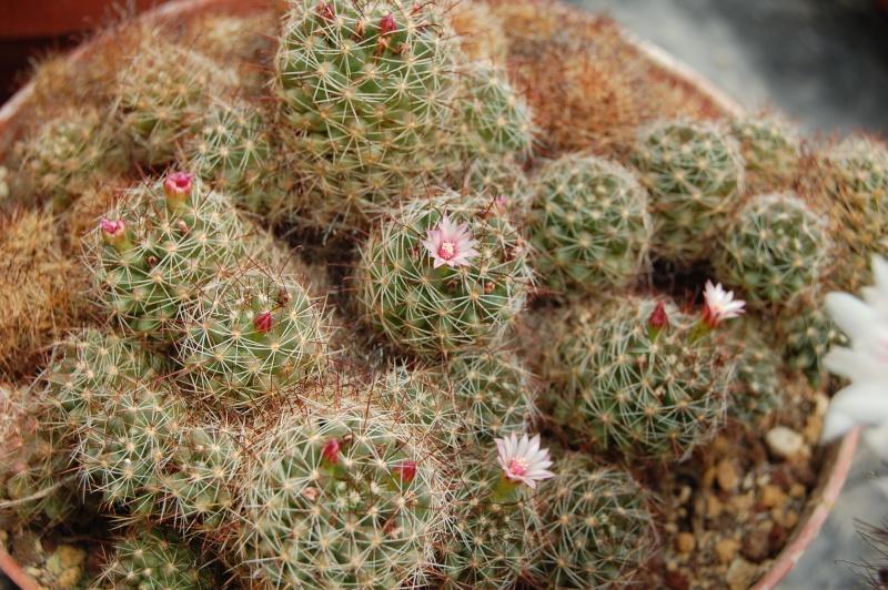 Mammillaria fittkaui Fittka11