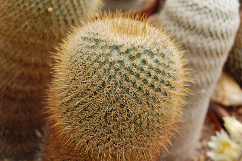 Mammillaria flavicentra Flavic10
