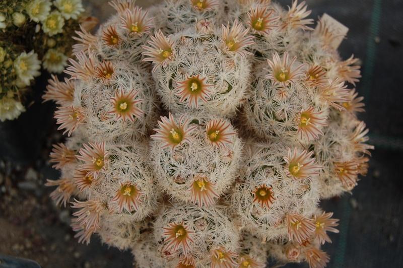 Mammillaria gasseriana Gasser11