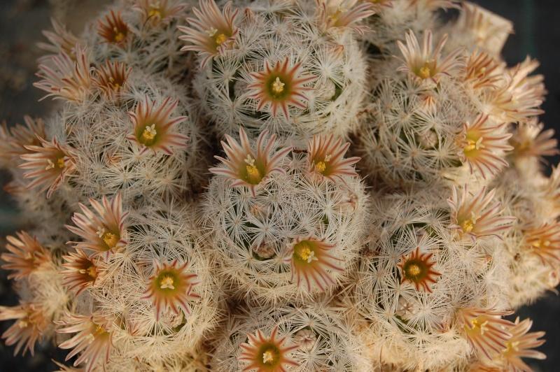 Mammillaria gasseriana Gasser12
