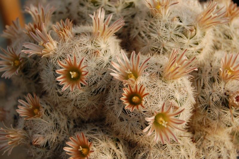 Mammillaria gasseriana Gasser14