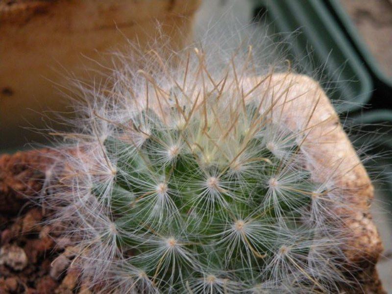 Mammillaria guelzowiana Guelzo14