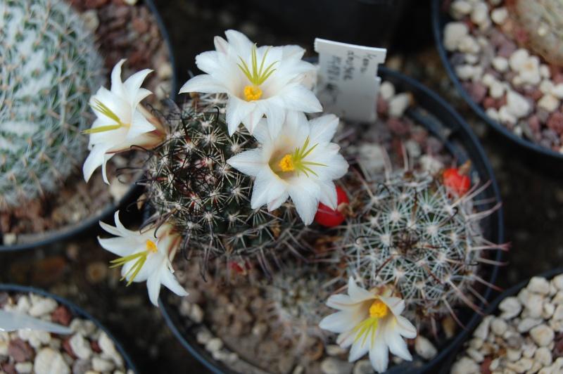 Mammillaria hutchisoniana Hutchi10