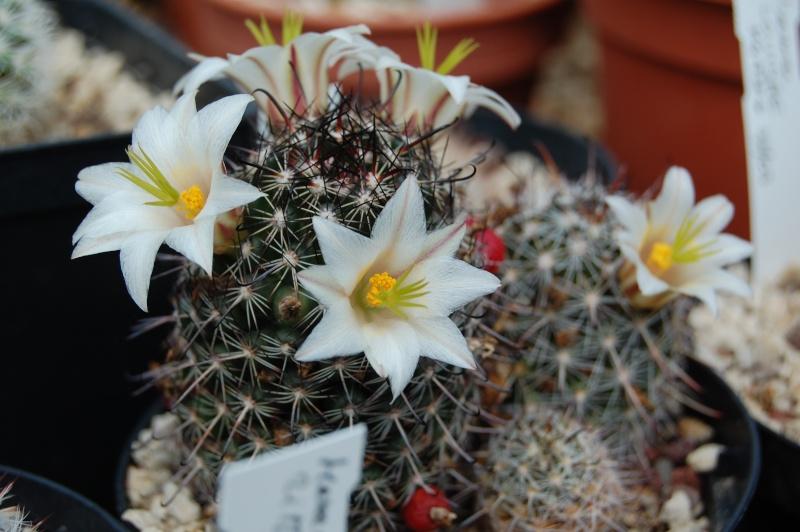 Mammillaria hutchisoniana Hutchi11