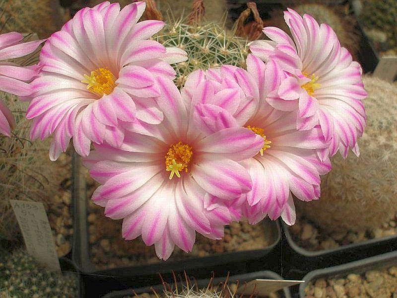 Mammillaria napina Ib_p0110
