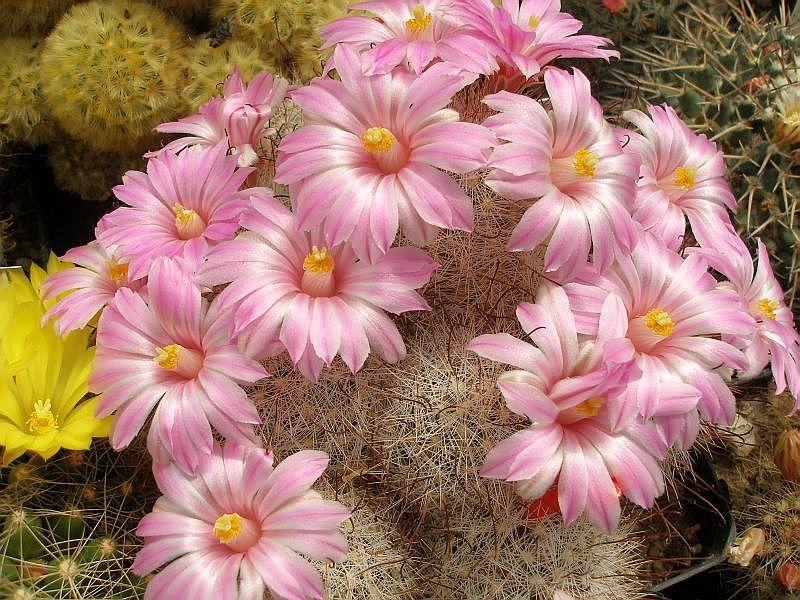 Mammillaria tetrancistra Ib_p0111