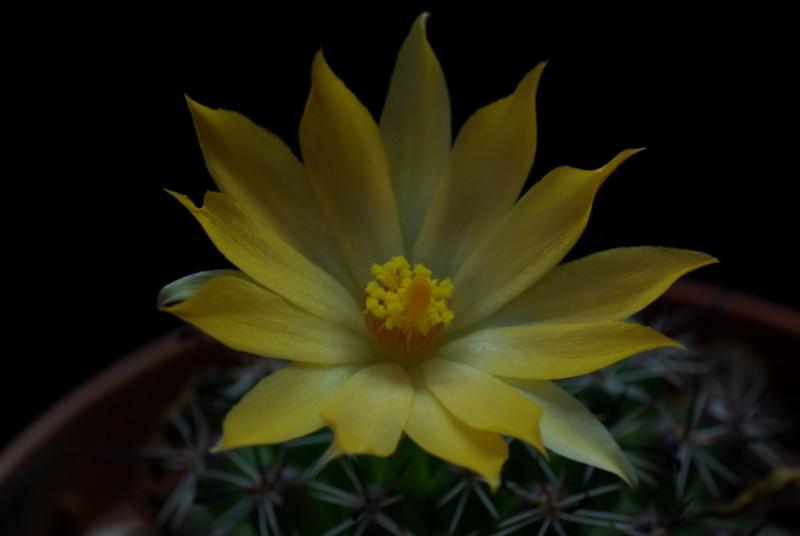 Mammillaria beneckei Imgp0112