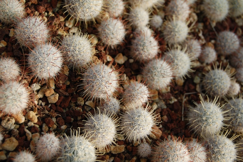 Mammillaria longiflora Longif10