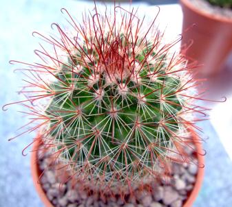 Mammillaria ID please Mammil12