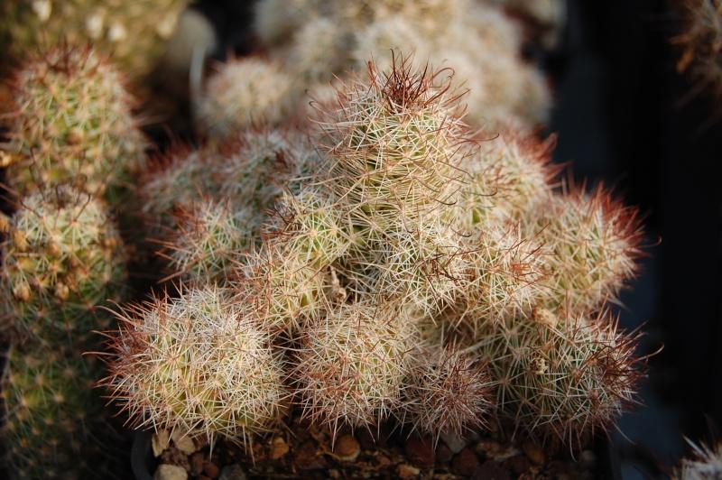Mammillaria mazatlanensis Mazatl10