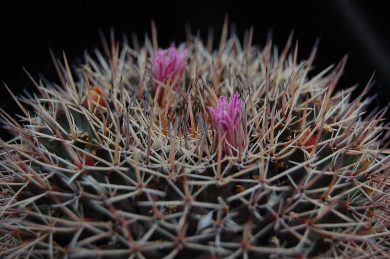 Mammillaria melanocentra Melano11