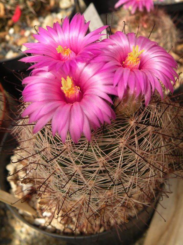 Mammillaria meridiorosei Meridi13