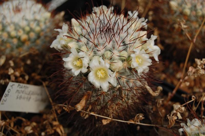 Mammillaria moelleriana Moelle10