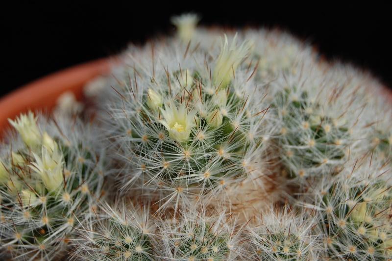 ID Mammillaria Pilisp11