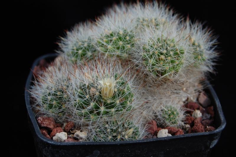 Mammillaria pilispina Rayone12