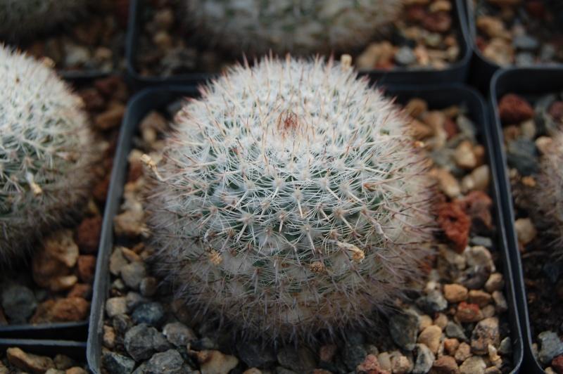 Mammillaria ritteriana Ritter10