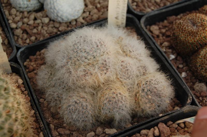 Mammillaria scheinvariana Schein10
