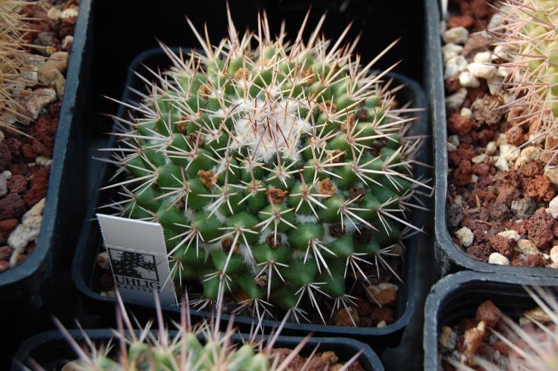 Mammillaria scrippsiana Scripp11
