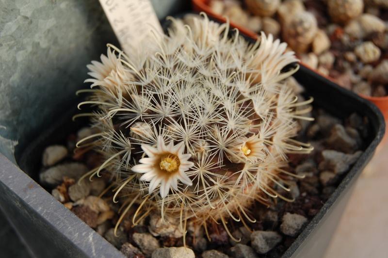 Mammillaria sinistrohamata Sinist10