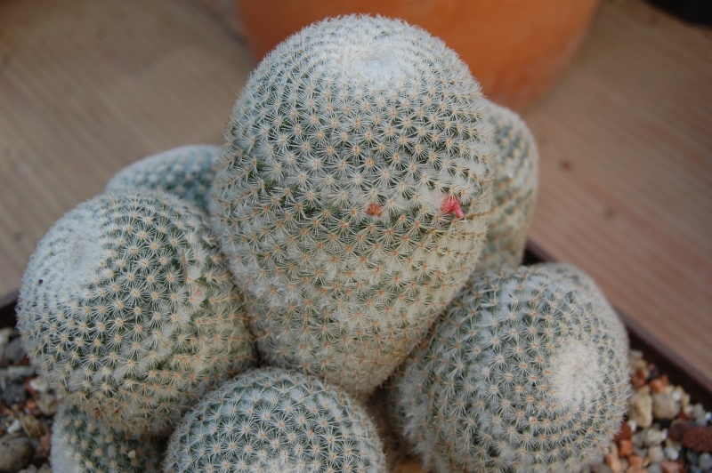 Mammillaria supertexta Supert15