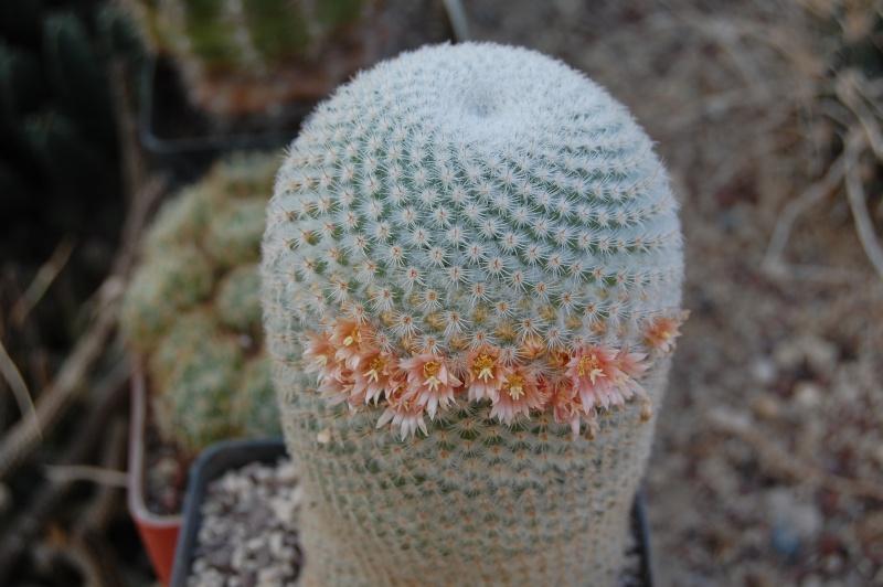 Mammillaria supertexta Supert16