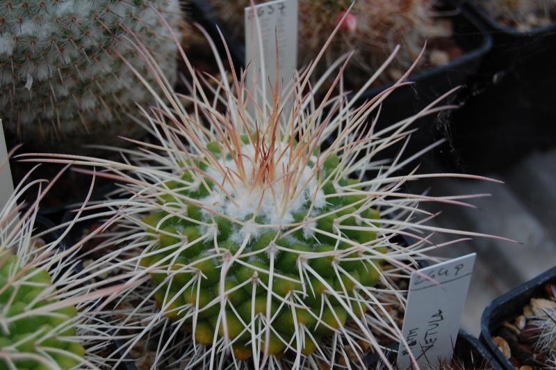 Mammillaria tolimensis Tolime10