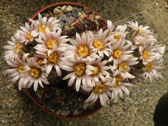 Mammillaria weingartiana Weinga10
