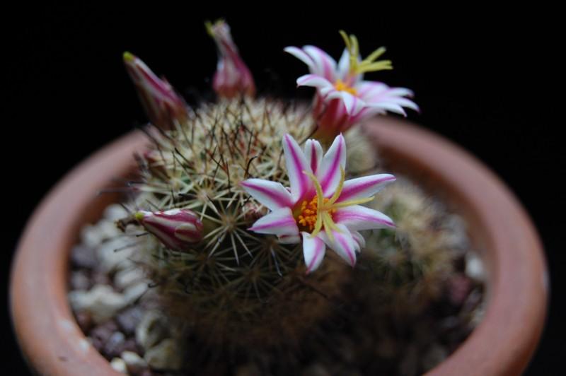 mammillaria blossfeldiana Wm_23610