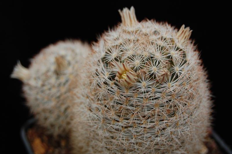 Mammillaria wohlschlageri Wohlsc10