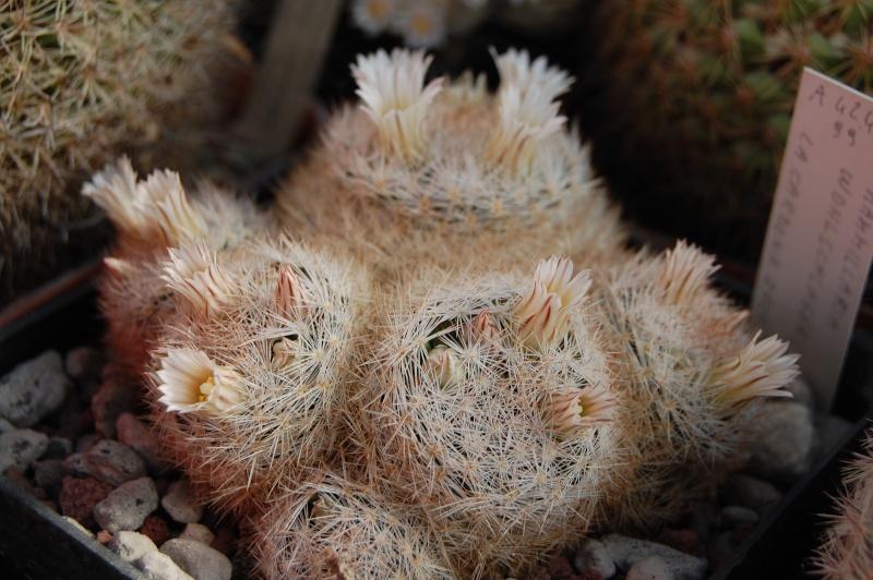 Mammillaria wohlschlageri Wohlsc11