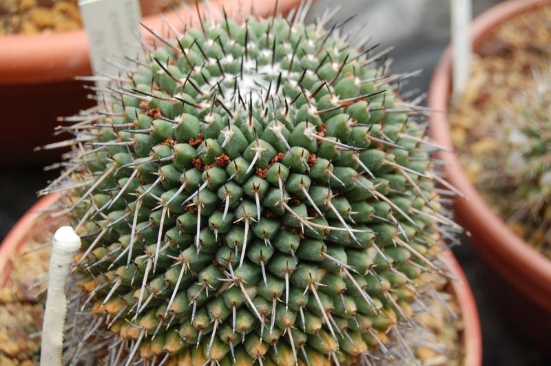 Mammillaria zuccariniana Zuccar10