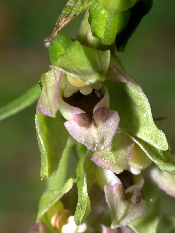 Epipactis helleborine subsp minor... photos Epiphe13