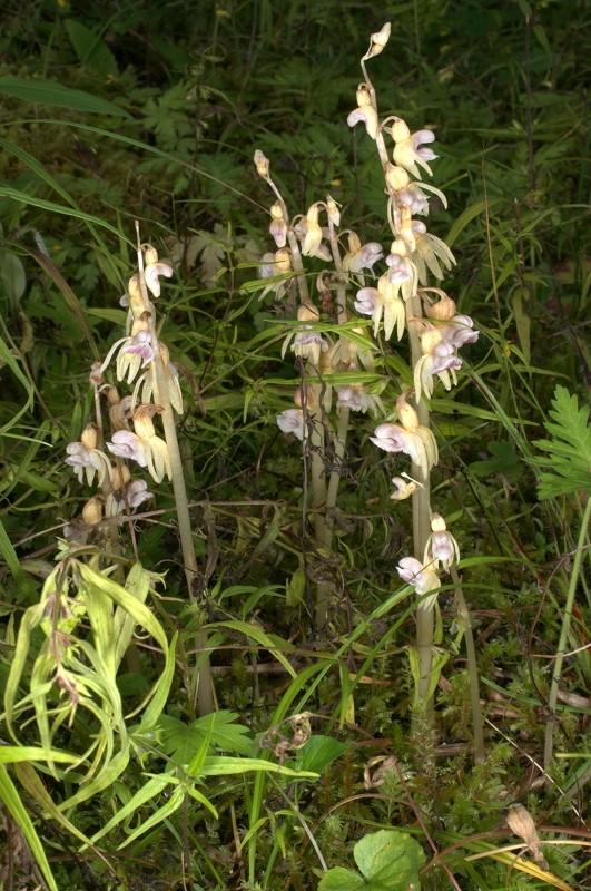 Epipogon sans feuilles Epipog14