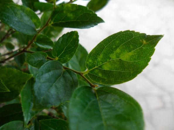 macchie strane su foglie di bagolaro Foto_112