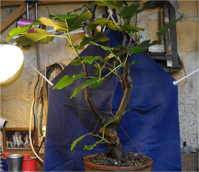 Da Macro a Micro - Ficus carica a go-go 0210