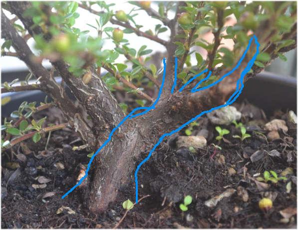 consigli per potatura cotoneaster Immagi12