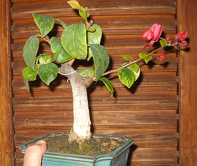 Ficus-Carica - Pagina 4 Immagi88