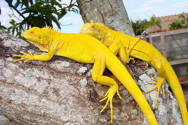 1 1/2 year old Albino Iguanas. 29191_10