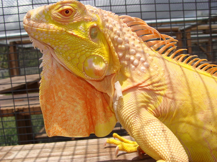 1 1/2 year old Albino Iguanas. 29191_11